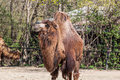 Two humped camel eating some hay Royalty Free Stock Image
