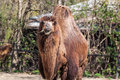 Two humped camel eating some hay Stock Image