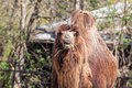 Two humped camel eating some hay Royalty Free Stock Photos