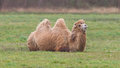 Two humped camel is resting on the green grass Stock Photography