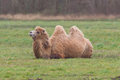 Two humped camel is resting on the green grass Royalty Free Stock Image