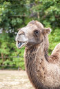 Two humped camel smiling portrait Stock Images