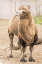 Two humped camel tow bactrian autumn captive zoo Royalty Free Stock Photos