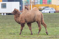 Two humped camel walking on a dutch meadow Stock Photography