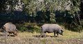 Two iberian pigs eating panoramic view acorns holm in the field of extremadura spain Stock Photography