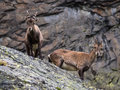 Two ibex in the mountains Royalty Free Stock Photo