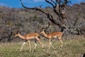 Two Impala Buck Females Wildlife Stock Photo