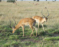 Two impala with large antlers grazing on green grass Royalty Free Stock Photo