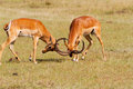 Two impalas fighting with horned locked Royalty Free Stock Image