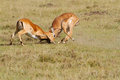 Two impalas fighting over leadership Stock Image