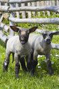 Two inquisitive lambs Stock Photography