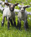 Two inquisitive lambs Stock Photo