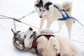 Two Inuit Sled Dogs Playing in Snow for Dogsledding in Minnesota Royalty Free Stock Photo