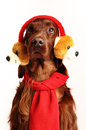 Two irish red setter white background Stock Photo
