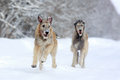 Two irish wolfhound dog in winter Stock Photos