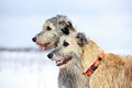 Two irish wolfhound dog in winter field Stock Image