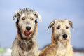 Two irish wolfhound dog in winter field Royalty Free Stock Image