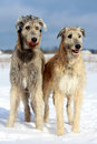 Two irish wolfhound dog in winter field Stock Photo