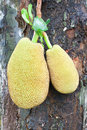 Two jack fruit on tree Stock Photography