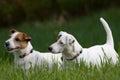 Two jack russel terrier nice posing Stock Image