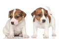 Two jack russell terrier puppies white background Royalty Free Stock Photos