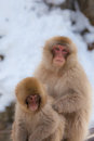 Two japanese snow monkey grooming Stock Photography