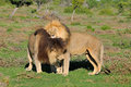 Two Kalahari lions playing in the Addo Elephant National Park Royalty Free Stock Photo