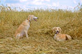 Two kazakh greyhounds orange tazi on a wheat field Royalty Free Stock Image
