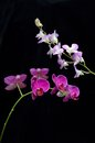 Two kind of orchid flower phalaenopsis amabilis on black background Stock Image