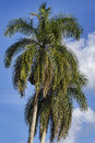 Two king palm trees Royalty Free Stock Photos