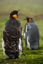 Two King penguin, Aptenodytes patagonicus. Penguin with detail cleaning of feathers Penguin with black and yellow head, Falkland I Royalty Free Stock Photo