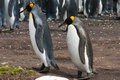 Two king penguins on the background colony of aptenodites patagonicus volunteer point falkland island Stock Photos