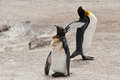 Two king penguins on the beach aptenodites patagonicus sand volunteer point falkland island Royalty Free Stock Photos
