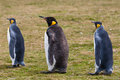 Two king penguins and chick group adult one stays on the grass falkland islands Royalty Free Stock Photography