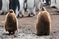 Two king penguins chicks stays in the colony of penguins Stock Photography