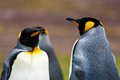 Two king penguins looks close up view Stock Photos
