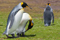 Two king penguins preening its feathers Stock Photos