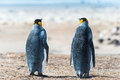Two king penguins sight from the back falkland islands south atlantic ocean british overseas territory Royalty Free Stock Photo