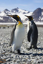 Two King Penguins on South Georgia Royalty Free Stock Photos