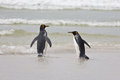 Two king penguins stand on the shore of the ocean and trying to jump into the water Royalty Free Stock Photo