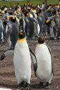 Two king penguins stays on the background colony volunteer point falkland islands Royalty Free Stock Photo