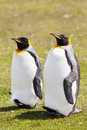 Two king penguins stays on the grass in falkland islands Stock Photos