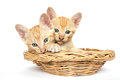 Two kittens in a basket sit together Stock Image
