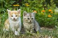 Two kittens on a blooming garden Royalty Free Stock Images