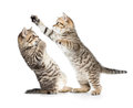 Two kittens cats boxing or playing Royalty Free Stock Photo