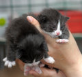 Two kittens in hands cute lie human Royalty Free Stock Photography