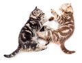 Two kittens playing or struggling together Stock Photos