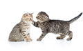 Two kittens playing together isolated Royalty Free Stock Images