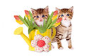 Two kittens with yellow watering can and tulips Royalty Free Stock Photo
