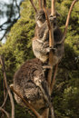 Two koala bears sleeping on tree picture of Royalty Free Stock Image
